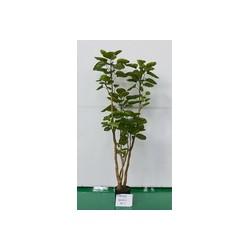 Растение искусственное Полисциас, высота=150 см