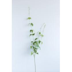 Ветка зелени